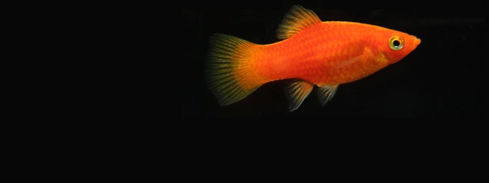 Fisk i en skål