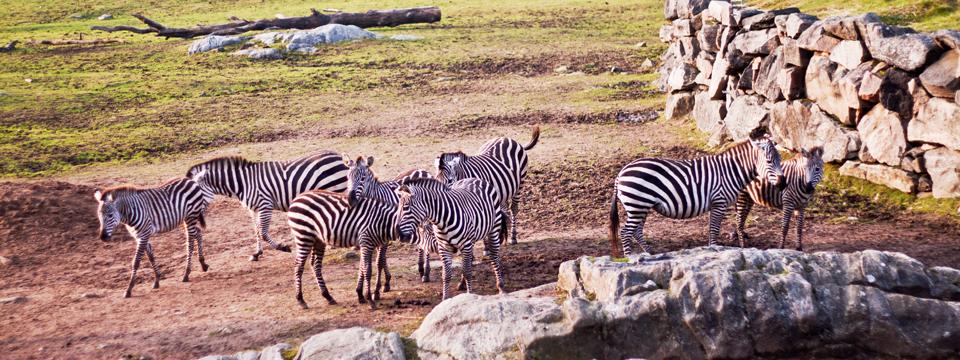 Zebror och zoo